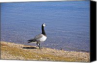England Canvas Prints - Barnacle Goose at Carsington Water Canvas Print by Rod Johnson