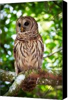 Barred Owl Canvas Prints - Barred Owl Canvas Print by Rich Leighton
