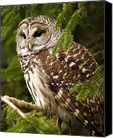 Barred Owl Canvas Prints - Barred Owl Canvas Print by Ron  McGinnis