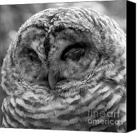 Predator Canvas Prints - Barred Owl Shut Eye Canvas Print by Darcy Michaelchuk