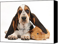 Hound Canvas Prints - Basset Hound And Guinea Pig Canvas Print by Mark Taylor