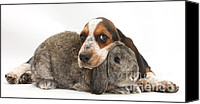 Hound Canvas Prints - Basset Hound And Rabbit Canvas Print by Mark Taylor