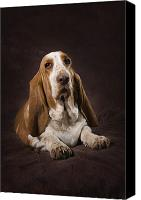 Hound Canvas Prints - Basset Hound On A Brown Muslin Backdrop Canvas Print by Corey Hochachka