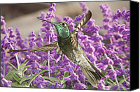 Humming Bird Canvas Prints - Battle Damaged Magnificent Hummingbird Canvas Print by Gregory Scott