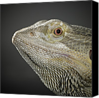 Dragon Photo Canvas Prints - Bearded Dragon Canvas Print by Darren Woolridge Photography - www.DarrenWoolridge.com