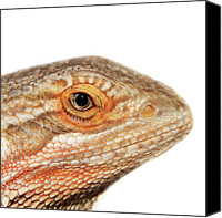 Animal Head Shot Canvas Prints - Bearded Dragon Canvas Print by Kelly Bowden