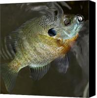 Flyfishing Canvas Prints - Beautiful Blue Gill Canvas Print by Thomas Young