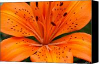 Garden Flowers Canvas Prints - Beautiful lily Canvas Print by Carol Lynch