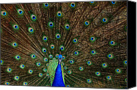 Zoo Canvas Prints - Beautiful Peacock Canvas Print by Larry Marshall