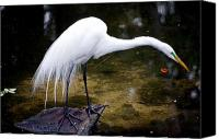 Great Egret Canvas Prints - Beautiful Plumage Canvas Print by Kenneth Albin