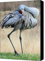 Sandhill Crane Canvas Prints - Beautiful Preening Sandhill Crane Canvas Print by Carol Groenen