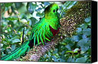 Exotic Bird Canvas Prints - Beautiful Quetzal 2 Canvas Print by Heiko Koehrer-Wagner