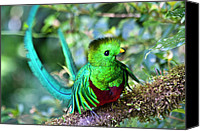 Exotic Bird Canvas Prints - Beautiful Quetzal 5 Canvas Print by Heiko Koehrer-Wagner