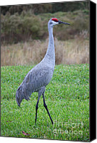 Sandhill Crane Canvas Prints - Beautiful Sandhill Crane Canvas Print by Carol Groenen