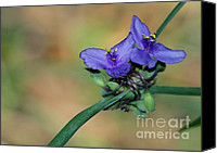 Florida Flowers Canvas Prints - Beautiful Spiderwort Canvas Print by Sabrina L Ryan