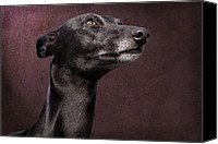 Whippet Canvas Prints - Beautiful Whippet Dog Canvas Print by Ethiriel  Photography