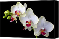 Orchidaceae Canvas Prints - Beautiful White Orchids Canvas Print by Garry Gay