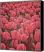 Pink Tulips Canvas Prints - Bedtime In Holland Canvas Print by Odd Jeppesen