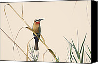 White-fronted Bee-eater (merops Bullockoides) Canvas Prints - Bee Eather Canvas Print by Christian Heeb