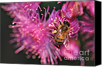 Tree Blossoms Canvas Prints - Bee on Lollypop Blossom Canvas Print by Kaye Menner