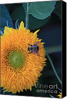 Teddybear Canvas Prints - Bee on Teddybear Sunflower 2012 Canvas Print by Marjorie Imbeau