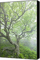 Gnarly Canvas Prints - Beech at Craggy Canvas Print by Rob Travis