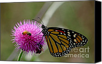Monarch  Canvas Prints - Bees Butterfly And Thistle Canvas Print by Robert Frederick