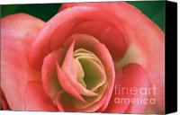 (c) 2010 Canvas Prints - Begonia Rose Canvas Print by Ryan Kelly
