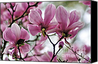 Magnolias Canvas Prints - Behind a bloom of Magnolias Canvas Print by Kaye Menner