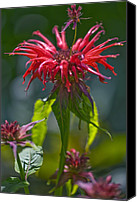 Horsemint Canvas Prints - Bergamot (monarda squaw) Canvas Print by Dr Keith Wheeler