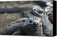 Galapagos Islands Canvas Prints - Best Friends Canvas Print by Matt Tilghman