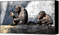 Chimpanzee Photo Canvas Prints - Better To Share Canvas Print by Fraida Gutovich