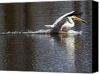 White Pelican Canvas Prints - Big Bird Skidding In Canvas Print by Thomas Young