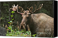 Bull Moose Canvas Prints - Big Guy Canvas Print by Rick  Monyahan