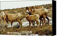 Rams Horn Canvas Prints - Big Horn Sheep Canvas Print by Greg Norrell