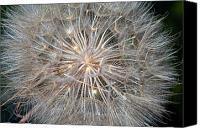 Tragopogon Dubius Scop Canvas Prints - Big Little World Canvas Print by Steve Harrington