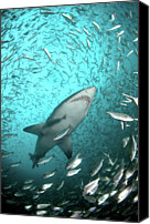 Sea Animals Canvas Prints - Big Raggie Swims Through Baitfish Shoal Canvas Print by Jean Tresfon