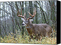 White Photo Special Promotions - Big Whitetail Buck - 10pt Canvas Print by Mitch Spillane
