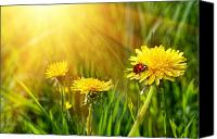 Rural Scenery Canvas Prints - Big yellow dandelions in the tall grass Canvas Print by Sandra Cunningham