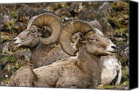 Rams Horn Canvas Prints - Biggs Rams W0722 Canvas Print by Wes and Dotty Weber