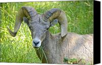 Rams Horn Canvas Prints - Bighorn Sheep Grazing Canvas Print by Sean Griffin