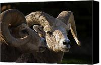 Rams Horn Canvas Prints - Bighorn Sheep, Waterton National Park Canvas Print by Philippe Widling