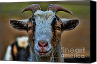 Rams Horn Canvas Prints - Billy Goat Canvas Print by Paul Ward
