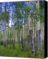 Colorado Artwork Canvas Prints - Birch Forest Canvas Print by Julie Lueders