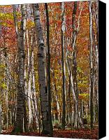 Trees Canvas Prints - Birch Trees in Autumn Canvas Print by Juergen Roth