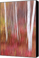 Vermont Autumn Foliage Canvas Prints - Birch Trunks-Abstract Canvas Print by Thomas Schoeller