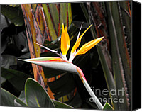 Tropical Bird Art Canvas Prints - Bird of Paradise Canvas Print by Rebecca Margraf
