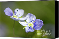 Invasive Canvas Prints - Birds Eye Speedwell Canvas Print by Sharon  Talson