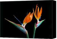 Flower Of Life Canvas Prints - Birds of Paradise Canvas Print by Terence Davis