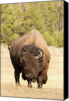 Animal Photo Canvas Prints - Bison Canvas Print by Corinna Stoeffl, Stoeffl Photography